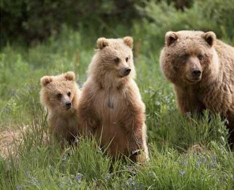 grisly bears