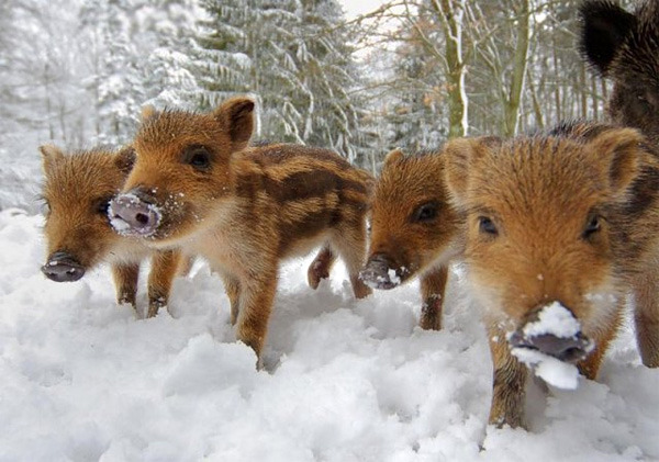 cute baby boars
