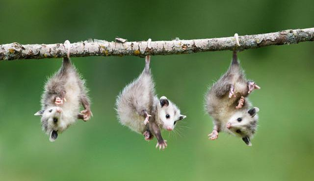 cute possums